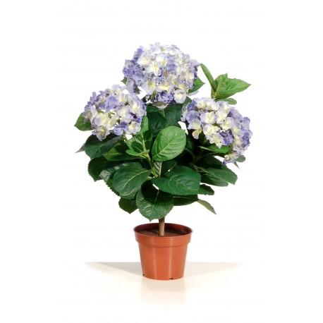 Hortensia bleu en pot Haut 50 cm